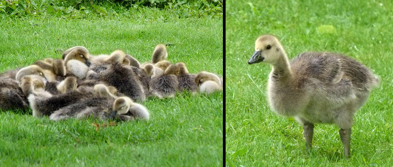 A new crop! Young Canada Geese newly hatched in the spring. Photo:  © Carol & Jack Madryga