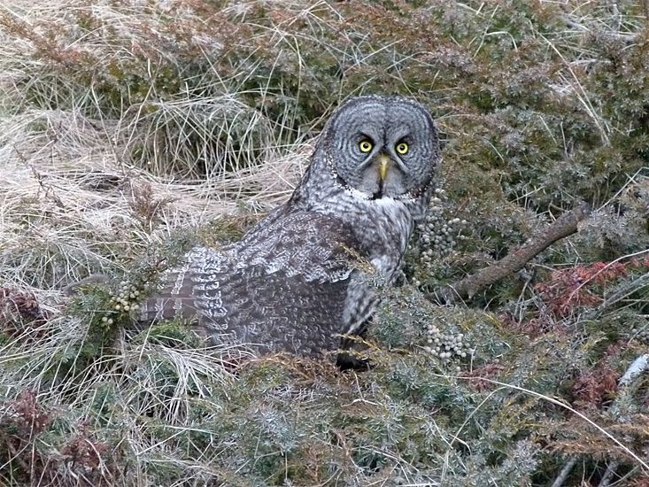 A Great Gray Owl caught in the act of catching a mouse - near Tunkwa Lake. Photo: © Jack & Carol Madryga