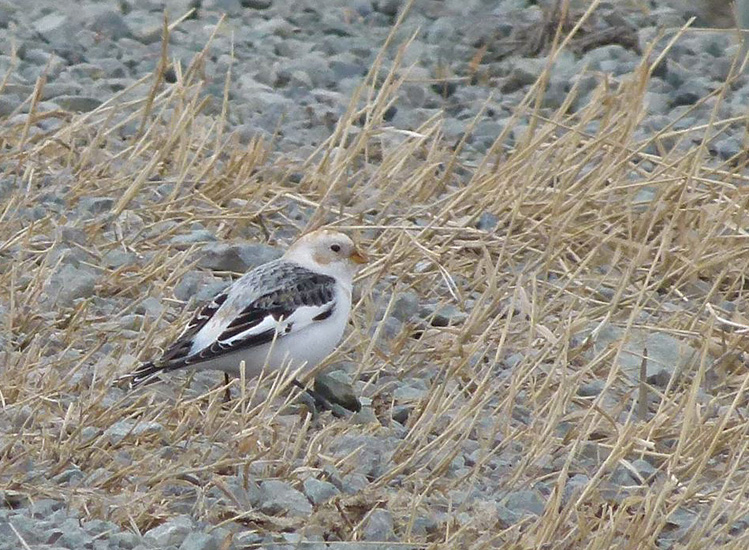 Snow Bunting - a regular winter visitor to the Douglas Lake Plateau.  Photo:  Carol &amp; Jack Madryga