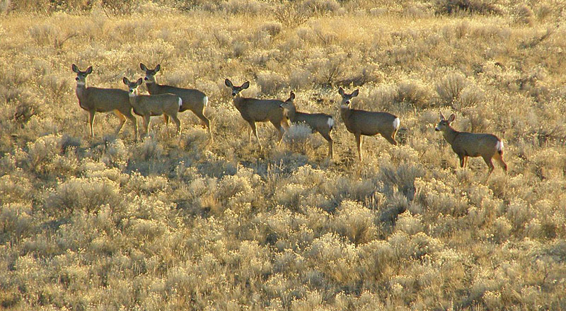 Mule Deer in the winter sun. Photo:  Carol &amp; Jack Madryga