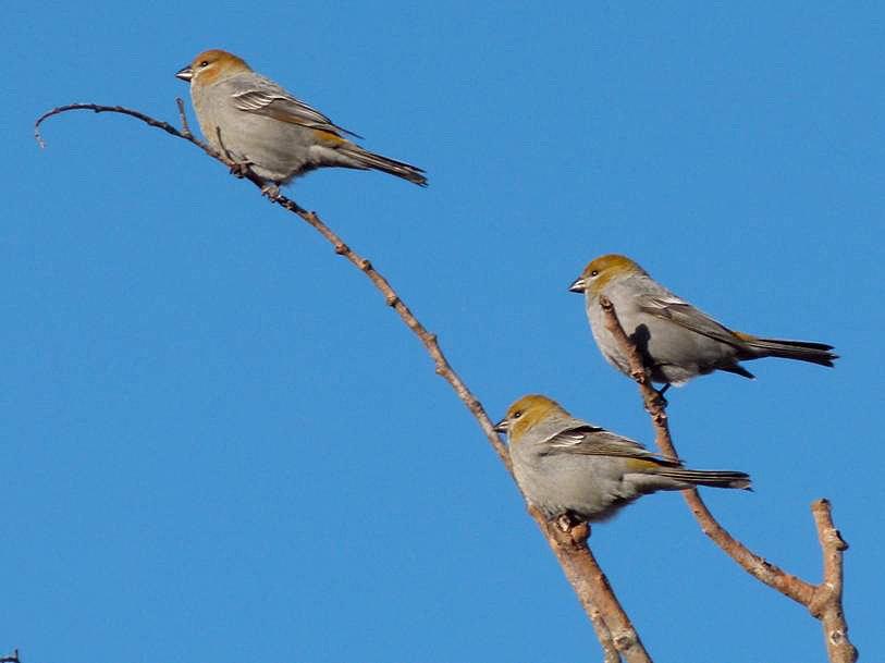 Female or immature Pine Grosbeaks, 20 Dec 2015. Photo: ©Carol Madryga