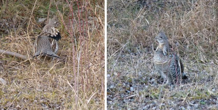 We had four Ruffed Grouse in the Merritt Christmas count, which matches last year's high count. These two were in the ranchlands near the upper Nicola River.  Photos © Carol & Jack Madryga