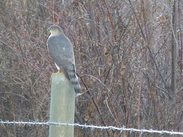 This Sharp-shinned Hawk was initially identified as a Cooper's Hawk, but expert birders confirmed its identity. Photo  © Carol Madryga