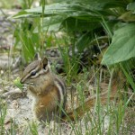 Yellow Pine Chipmunk (photo: Carol &amp; Jack Madryga)