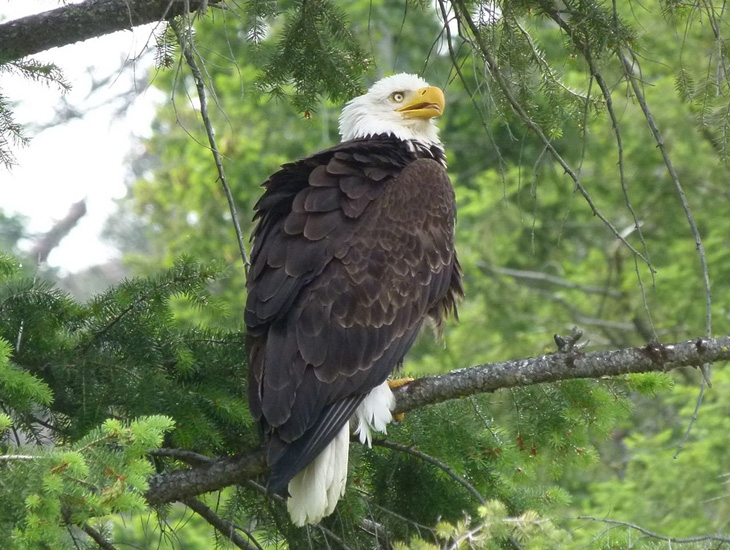 An adult Bald Eagle in the BC interior.  Photo: © Jack & Carol Madryga.