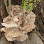 Oyster fungus on a cottonwood tree.