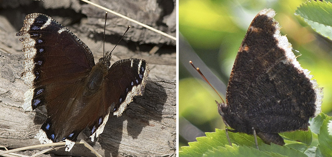Mourning Cloak butterfly - dorsal view (left) ©Alan Burger; ventral view (right) ©Bob Scafe