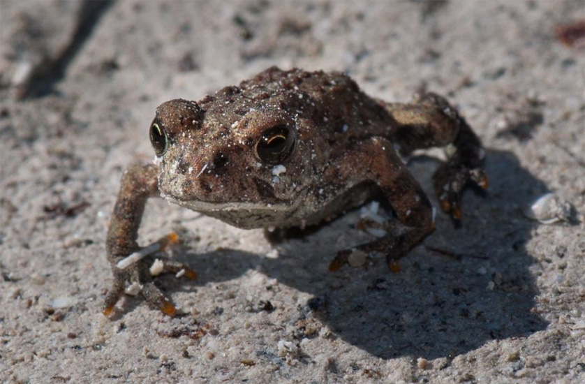 A tiny Western Toad, newly emerged from its birth pond, migrates towards the forest. Photo © Kristiina Ovaska