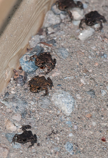 Toadlets moving along the funnel-fence.  Photo:  © Kristiina Ovaska
