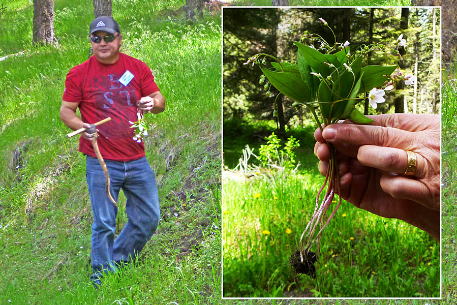 First Nations archaeologist and councillor Robert Sterling used a tradional elk-horn digging stick to dig out a native 'potato' - Western Spring Beauty. The inset shows the plant with the walnut-sized corm.  Photos: © Alan Burger