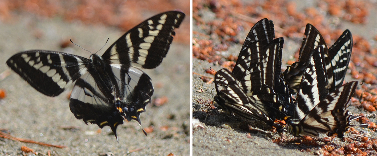 Pale Swallowtail butterflies, taken on June 17th, 2016. In the photo on the right 7 butterflies are huddled together gathering salts on damp sand. Photos: © Bob Scafe