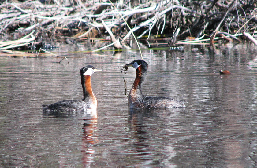 A pair of Red-necked Grebes photographed in the midst of a spring courtship display. Photo:  © Anne Pang