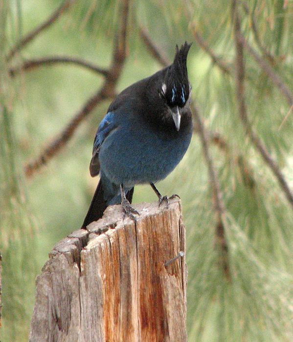 Steller's Jay.  Photo: © Anne Pang