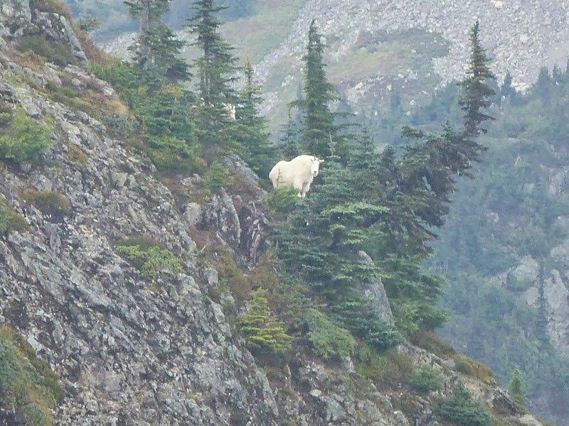 Like an impressionist painting, this cell-phone photo beautifully captures the lifestyle of Mountain Goats. Interior BC. Photo: © David Pitt