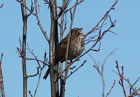 A Song Sparrow sings an early spring song.  Photo:  David Pitt