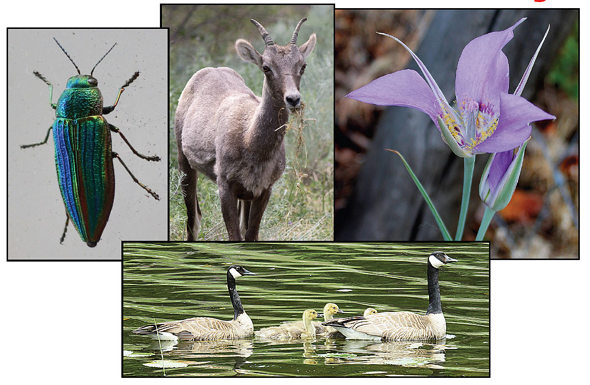 A sample of NNS members photos coming up at the September meeting: Beetle (© Bob Scafe), Bighorn youngster (© Alan Burger), Mariposa Lily (© Cindilla Trent), Canada Geese (© Bonny Kozub).