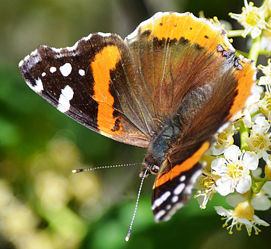 Red Admiral May 29, 2015 Kentucky Alleyne. © Bob Scafe