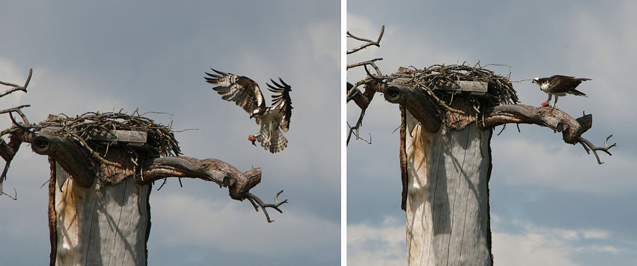 Osprey nesting at the Lundbom Common near Merritt.  Photos: © Robert Bear