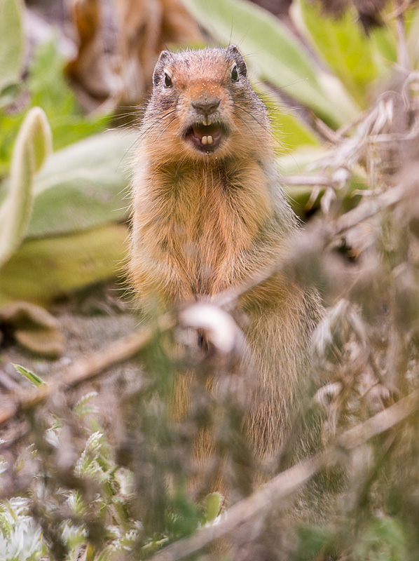 A Columbia Ground-squirrel - a common resident of the grasslands and forest openings in the Nicola Valley. Photo: © Ian Routley.