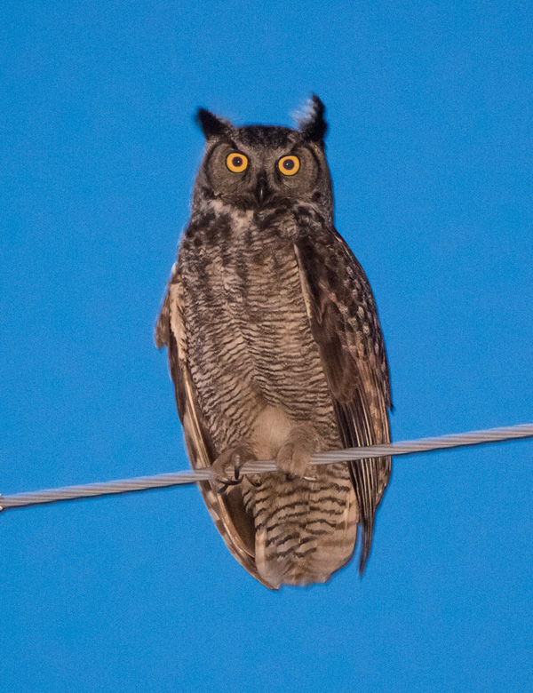 A long-distance portrait of a Great Horned Owl. Photo: © Ian Routley.