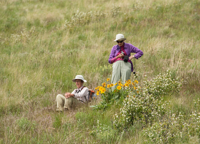 Enjoying the grassland flowers at Lundbom Common. Arrow-leaved Balsamroot (Balsamorhiza sagittata) is in full bloom.