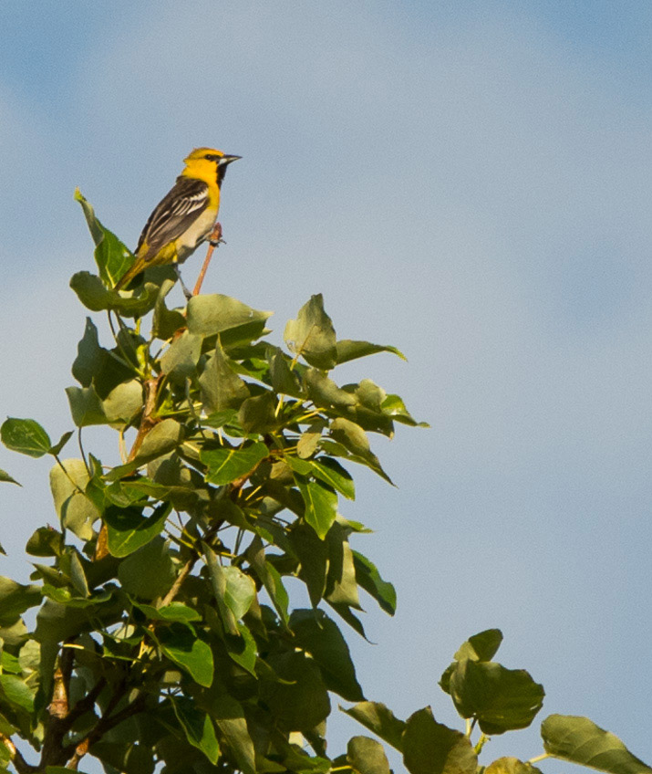 A Bullock's Oriole male sits on the top of a cottonwood tree.  Photo: © Ian Routley