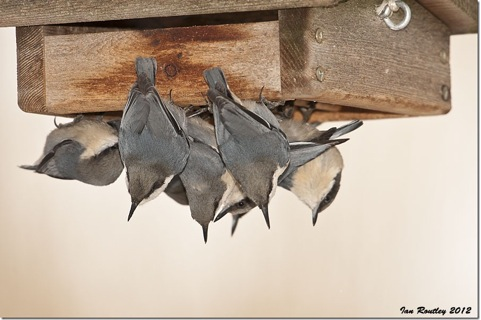Pygmy Nuthatches cluster around a feeder.  Photo: © Ian Routley