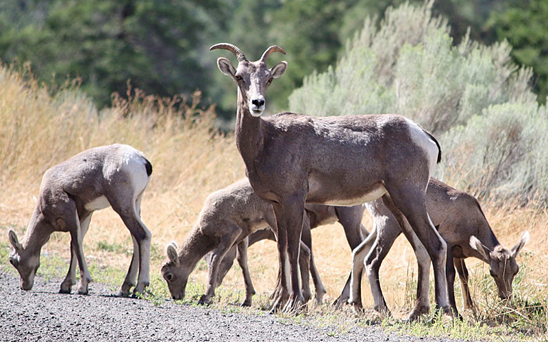 Bighorn sheep between Merritt and Spences Bridge. Photo: © Ruth Tolerton