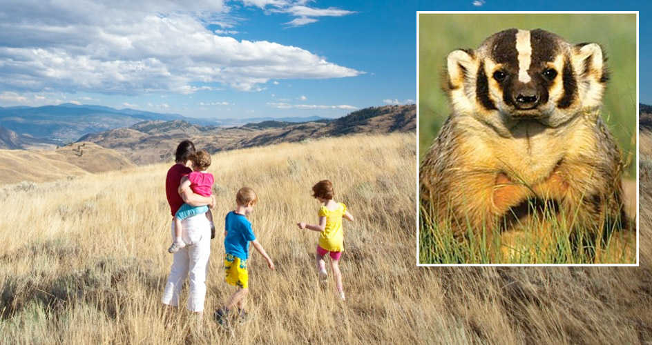 Grasslands are at the heart of the South Okanagan - Similkameen National Park proposal. A park will improve protection for threatened and endangered species such as the badger.  Photos:  South Okanagan-Similkameen National Park Network
