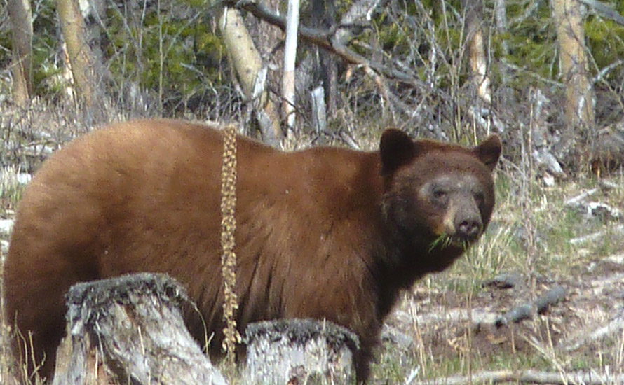 This cinnamon-coloured black bear was photographed in the Kane Valley near Merritt. This coloration is quite often found in bears around Merritt.  Photo: © Gerry & jill Sanford.