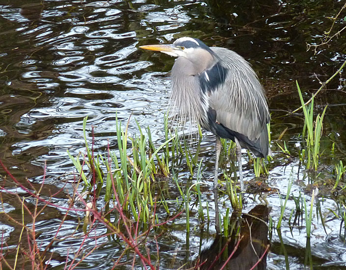 Great Blue Heron.  Photo: © Gerry & Jill Sanford