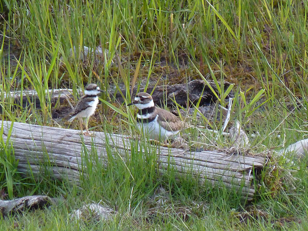 A Killdeer with its downy chick at Harrison Lake in the Kane Valley near Merritt, BC. Photo: © Gerry & Jill Sanford