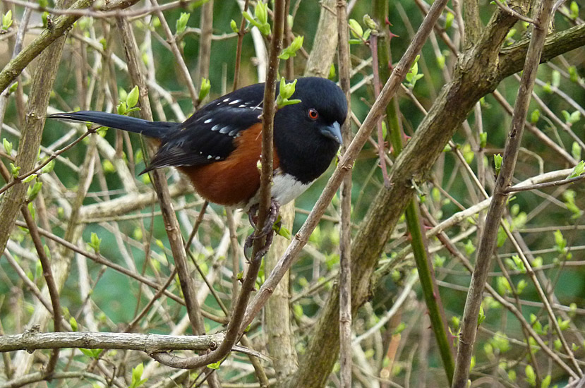 Spotted Towhee.  Photo:  Gerry &amp; Jill Sanford