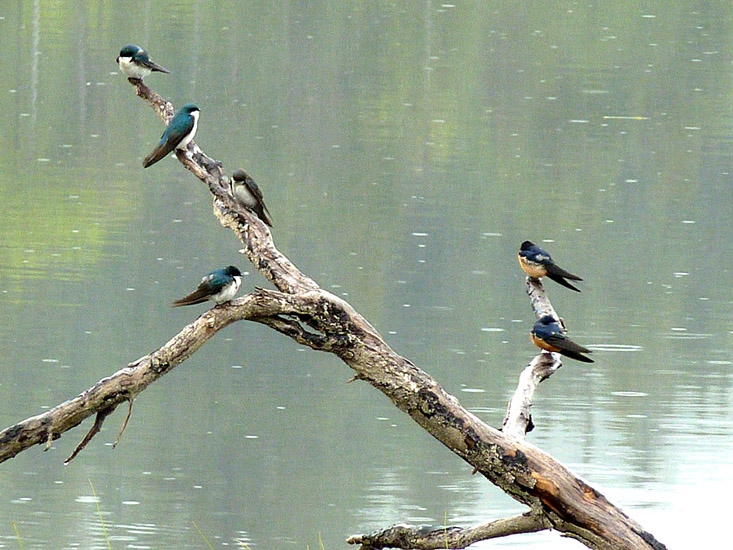 A mixed group of swallows: Tree Swallows on the left and Barn Swallows on the right. Photo: © Jill & Gerry Sanford.