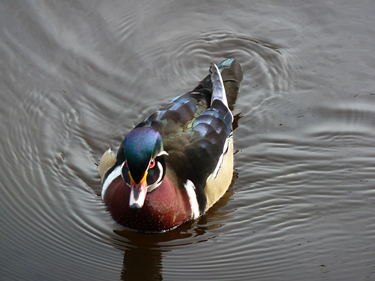 Wood Duck (male).  Photo: © Gerry & Jill Sanford