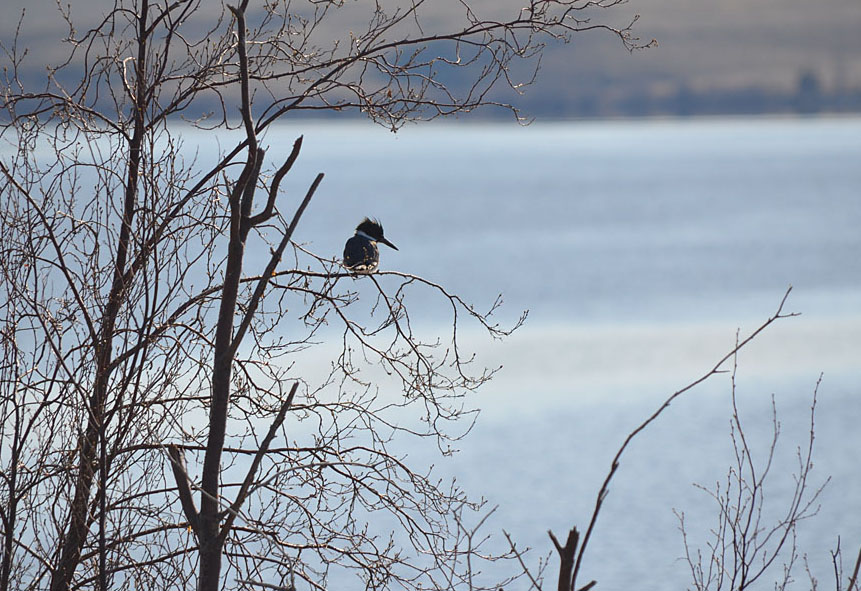 A Belted Kingfisher on the shores of Douglas Lake.  Photo: © Bob Scafe