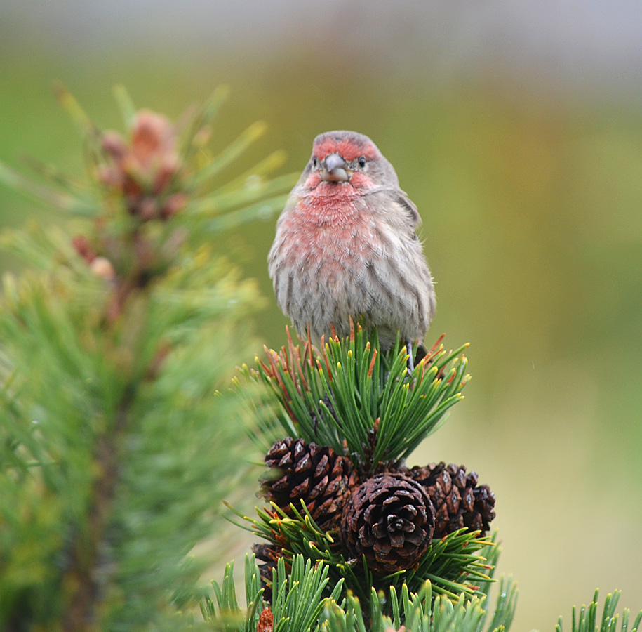 A male House Finch - one of the species commonly found in the Merritt Christmas Bird Count. Photo © Bob Scafe.
