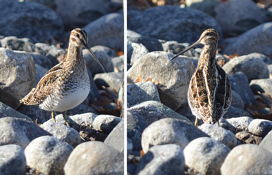 This Wilson's Snipe was mistakenly searching for food among the rocks of a Merritt garden. Photos:  © Bob Scafe