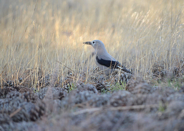 Clark's Nutcracker. Photo:   Bob Scafe