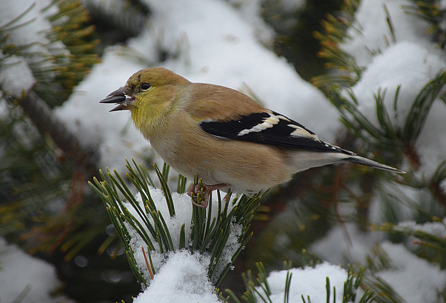 American Goldfinch male in late winter. Photo: © Bob Scafe