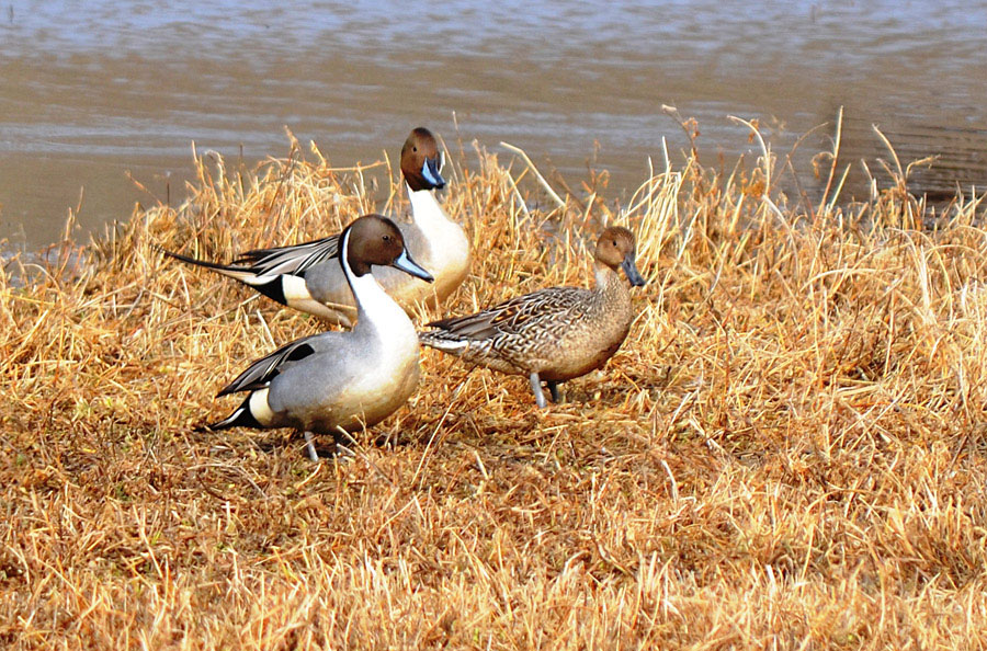 Northern Pintails in early spring. Photo: © Bob Scafe