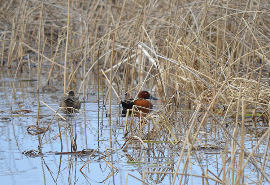 A pair of Cinnamon Teal on a pond - Douglas Lake Plateau.  Photo: © Bob Scafe