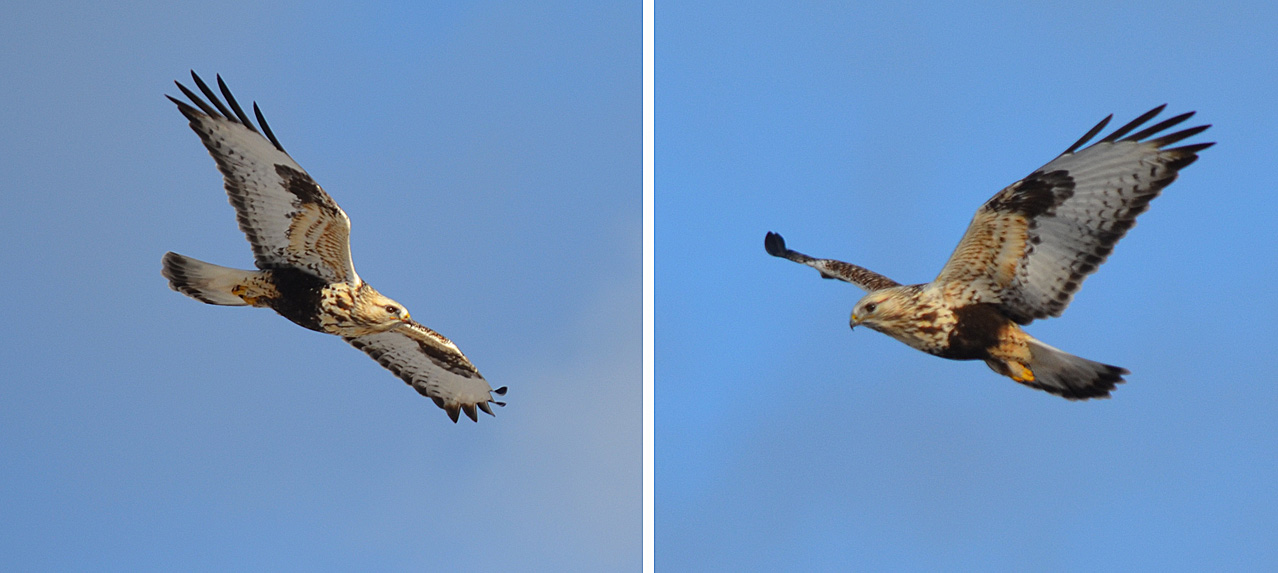 We had a record count of Rough-legged Hawks, migrants from the Arctic tundra which overwinter here. Bob Scafe nicely captured this bird hunting over the Lundbom Common during the Christmas Bird Count. Photos © Bob Scafe
