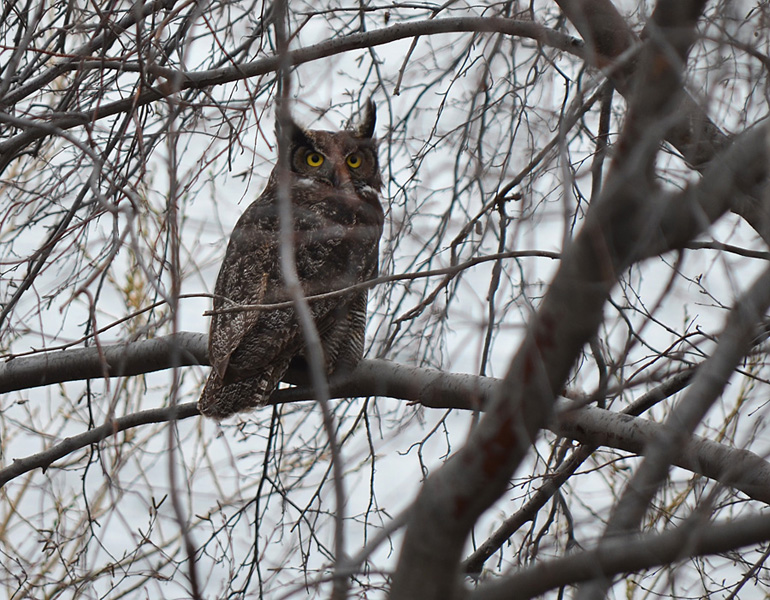 This Great Horned Owl regularly roosts in the thickets bordering Douglas Lake.  Photo: © Bob Scafe