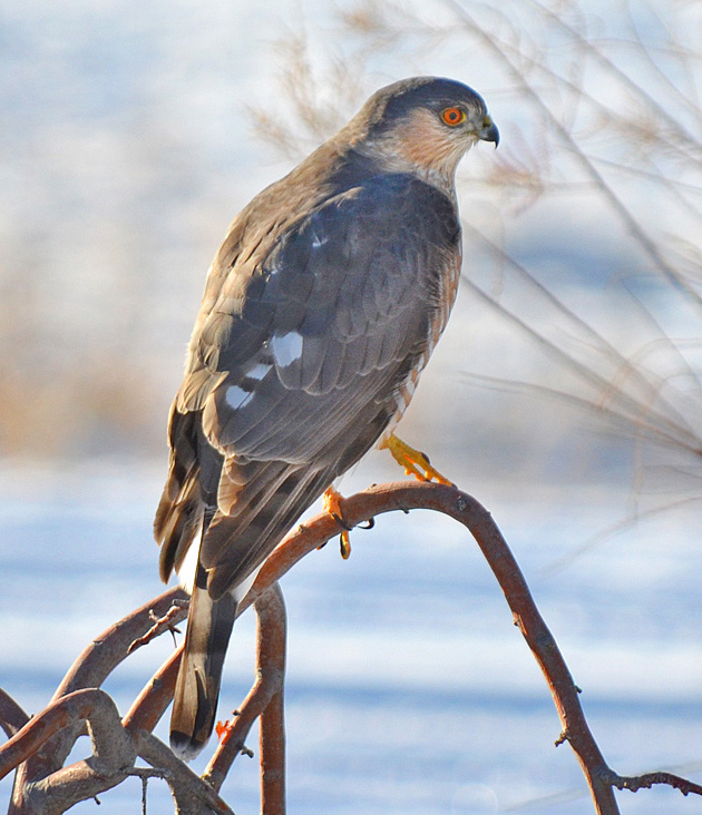 This Sharp-shinned Hawk was a regular visitor to backyard feeders in the Merritt area.  Photo:  © Bob Scafe