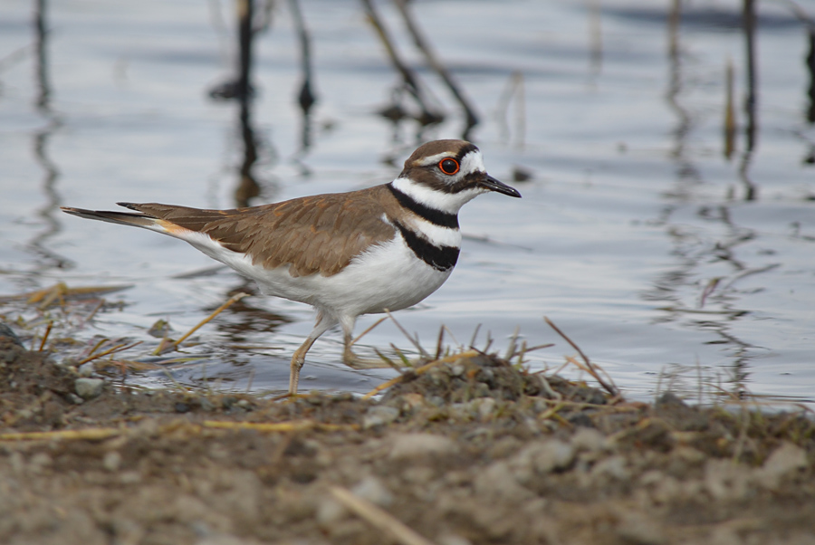 Killdeer breed alongside many of the small watering holes on the Douglas Lake Plateau grasslands.  Photo: © Bob Scafe