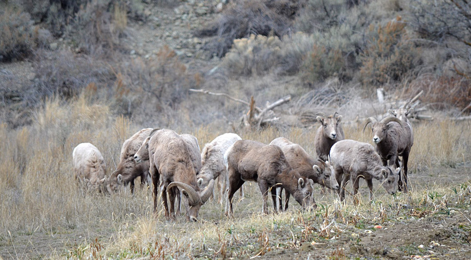 California Bighorn Sheep. Photo:  © Bob Scafe