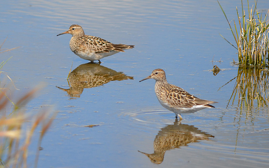 Pectoral Sandpipers on their migration south from their Arctic breeding grounds. Photo: © Bob Scafe