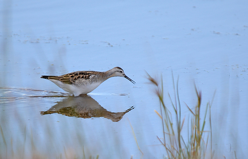 A juvenile Wilson's Phalarope skims tiny crustaceans from a pond surface. Photo: © Bob Scafe