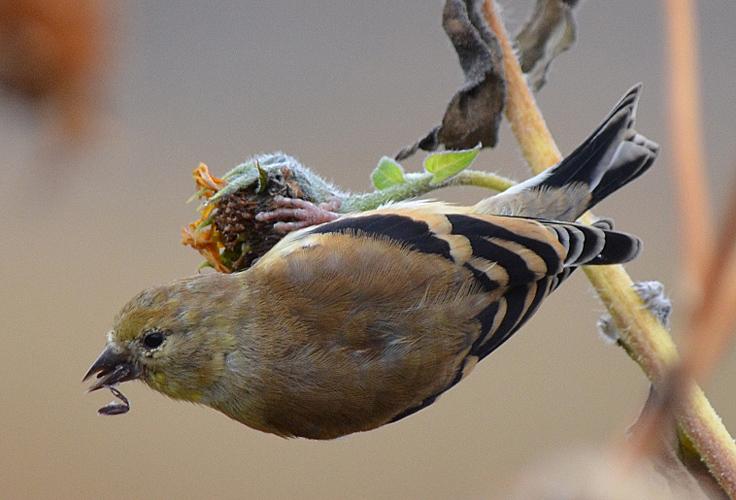 American Goldfinch in winter plumage. Photo © Bob Scafe